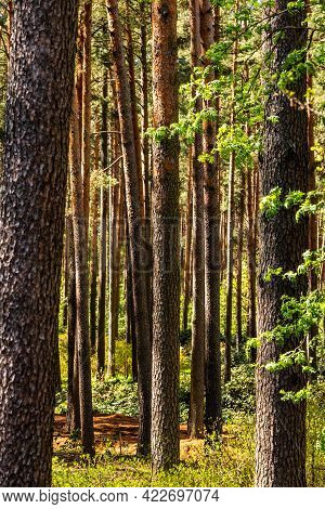 Vertical Photo Of Pine Tree Trunks At Sunny Spring Midday. Wild Pine Tree Forest. Evergreen Pine Tre