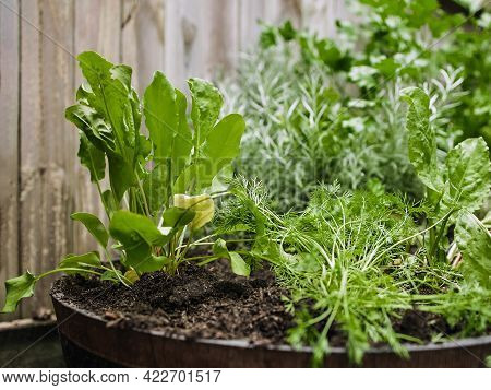 Wooden Pot With A Variety Of Fresh Green Potted Culinary Herbs Growing Outdoors In A Backyard Garden