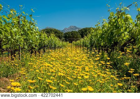 Wild Flowers And Poppies In Between Rows Of Vines In A Vineyard At Calvi In The Balagne Region Of Co