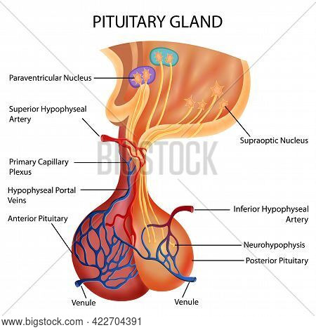 Healthcare And Medical Education Drawing Chart Of Human Pituitary Gland For Science Biology Study
