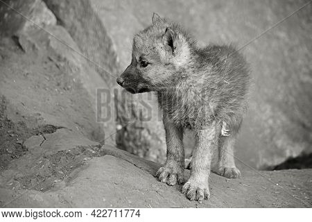 Wolf Cub Baby Polar Wolf In The Zoo