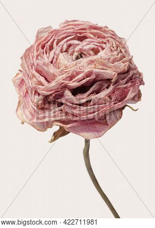 Dried pink buttercup flower on a beige background