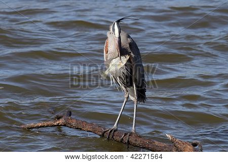 Great Blue Heron pesca.