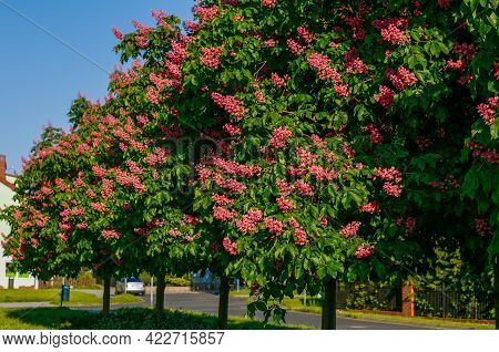 Red Chestnut Tree, Blooming Chestnut Trees With Red, Carmine Flowers, Flowering Trees Against A Blue
