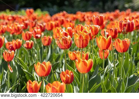 A Group Of Orange Tulips With Stamens And Pestle Is On A Blurred Green Background