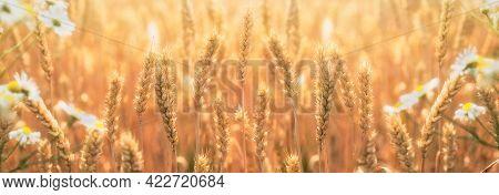 Golden Wheat Field, Crop Field Lit By Sunlight, Beautiful Meadow Landscape In Late Afternoon