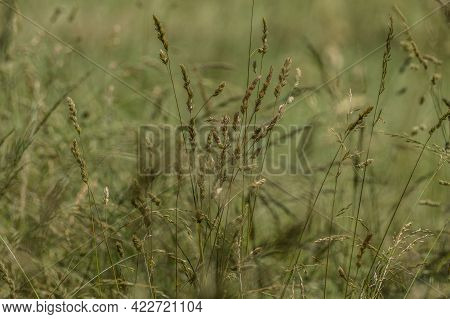 Dry Tall Grasses With Seed Heads Ready To Disperse In An Open Field For New Growth In The Springtime