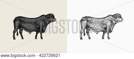 Domestic Cow. Farm Animal. Vintage Sketch For Shop. Badge For T-shirts. Hand Drawn Engrave Vector Il