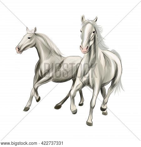 Two White Horses Running At A Gallop From Splash Of Watercolors, Colored Drawing, Realistic. Vector