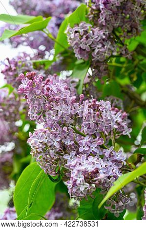 Closeup Of Lilac Hedge In Garden In Sweden