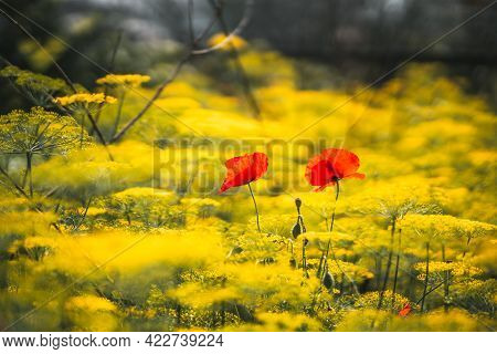View With A Shallow Depth Of Field And Selective Focus On Two Red Poppies Sprouted Among The Thicket