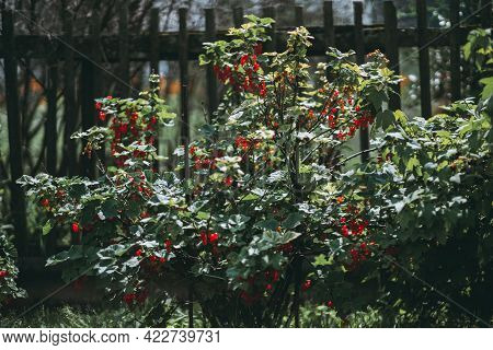 A Bush Of A Red Currant Berry With A Mix Of Ripe And Unripe Berriesbunches In The Summer Garden Wit