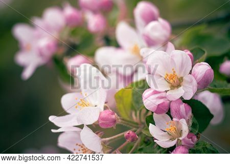 Apple Blossoms Close Up. Pink Flowers With Yellow Stamens