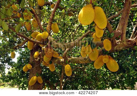 Tropical Breadfruit Tree