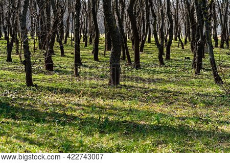 Tree Trunks In A Dense Forest, Way Through Rows Of Trees.