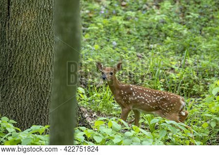 White-tailed Deer, A Small Fawn In The Forest