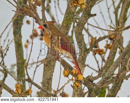 Cardinal On A Branch: Female Northern Cardinal Bird Sits With Fluffed Up Feathers On A Branch On A C