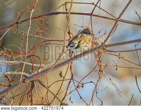 American Tree Sparrow on Branch: On a cold winter day an American tree sparrow perched on bare tree branch fluffs out its feathers to stay warm