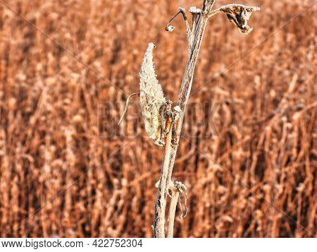 Frozen Milkweed Pod On The Prairie: An Early Cold Winter Morning With A Milkweed Pod With Frost And