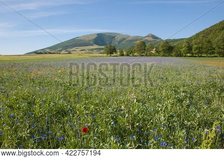 Plateau Of Annifo With Cornflowers And The Pennino Mountain In The Background