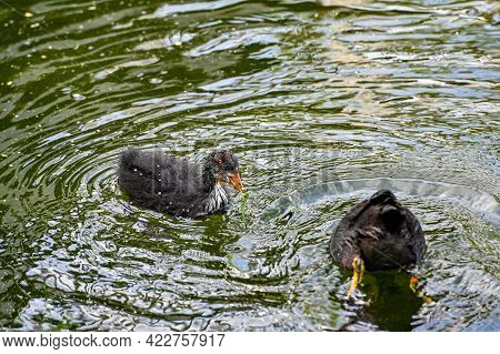 Adult And Young Coot In Lake Park