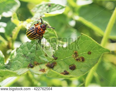 Colorado Potato Beetle Hanging On A Gnawed Potato Leaf. Close Up. An Illustration About Insects, Pes