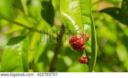 Rosy Apple Aphid Dysaphis Plantaginea. Plant Disease, Detail Of Affected Leaf In Spring. Space For T