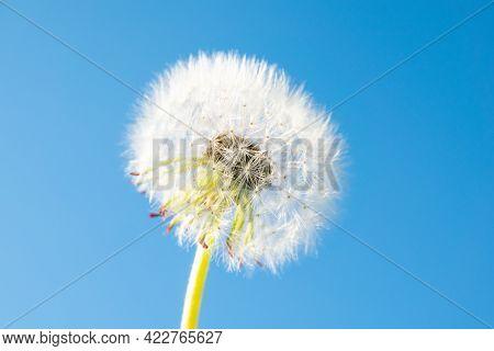 White Dandelion Closeup Against Blue Sky On Sun