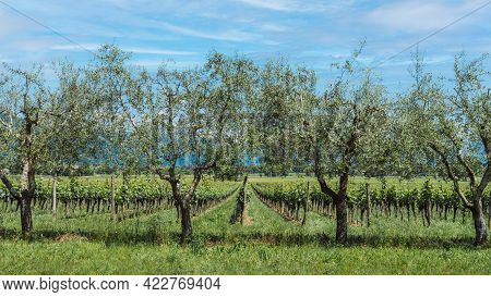 Grapevine Rows At A Vineyard Estate. Italian Vineyard In Lombardy. The Wine Is Franciacorta. Beautif