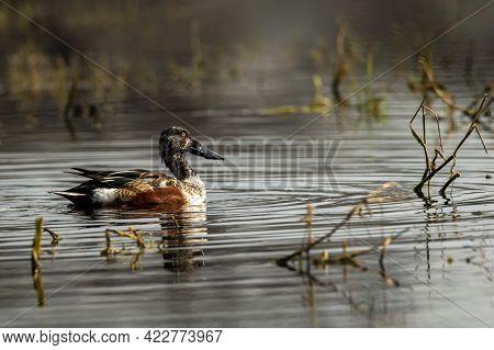 Northern Shoveler Or Shoveller Or Anas Clypeata Or Spatula Clypeata Closeup Floating In Wetland Of K