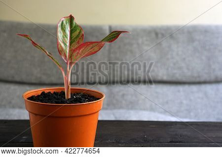 Aglaonema Red Lipstick Or Chinese Evergreen Plant Or Aglaonema Siam Aurora Can Be Used As Decoration