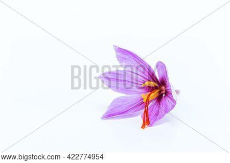 Saffron. Saffron Flowers On A White Background.