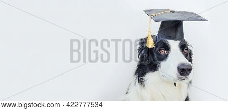 Funny Proud Graduation Puppy Dog Border Collie With Comical Grad Hat Isolated On White Background. L