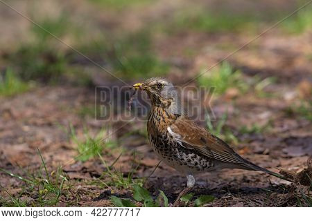 The Fieldfare Eats An Earthworm While Sitting On The Ground. Hunting Bird. The Fieldfare Looking For