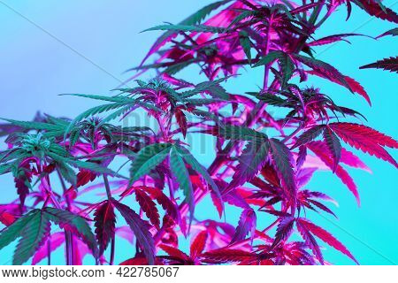 Cannabis Purple Leaves And Flowers On Blue Background. Positive New Look On Agricultural Marijuana.