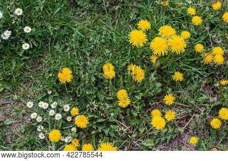 Close-up Of Yellow Dandelions And White Daisies In An Uncultivated Meadow