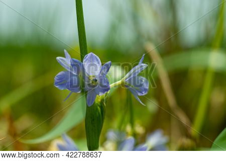 Agapanthus Campanulatus Or Lily Of The Nile Is A Herbaceous Perennial Plant Leaf And Drooping Flower