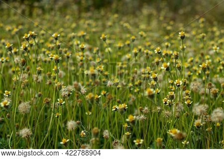 Coat Buttons Flower Or It Is Commonly Known As Coat Buttons Or Tridax Daisy, Is A Species Of Floweri