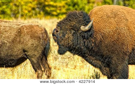 Horizontal photo of buffalo bull smelling female poster