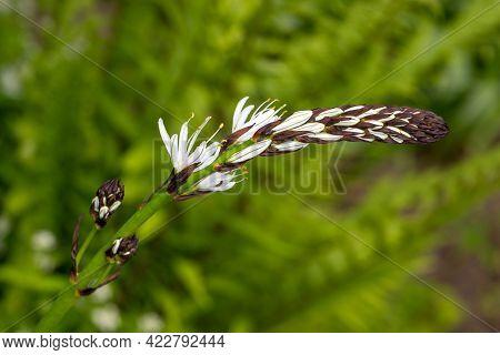 Portrait Of Flowering Asphodelus Albus, Common Name White Asphodel Plant In The Spring Garden. Macro