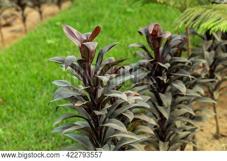 The Green Grass With Tall Tongue Orchid Or Broadleaf Lady Palm Dark Red Color Leaf And Tree Is A Mul