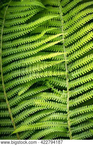 Close-up Of Matteuccia Struthiopteris, Common Names Ostrich Fern, Fiddlehead Fern, Or Shuttlecock Fe