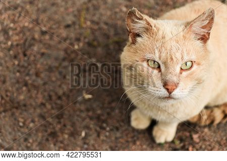 Portrait Of A Smelly Ginger Cat Sitting On The Road Top View