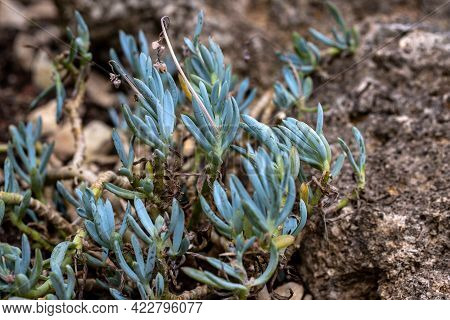 View Of Curio Repens, Blue Chalksticks Succulent Plant In The Home Garden. Macro Photography Of Live