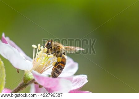 Honey Bee Collecting Bee Pollen From Apple Blossom. Bee Collecting Honey.