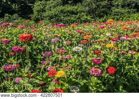 Variety Of Multicolored Zinnias In The Foreground Closeup In A Farm Field In Full Bloom With The Woo
