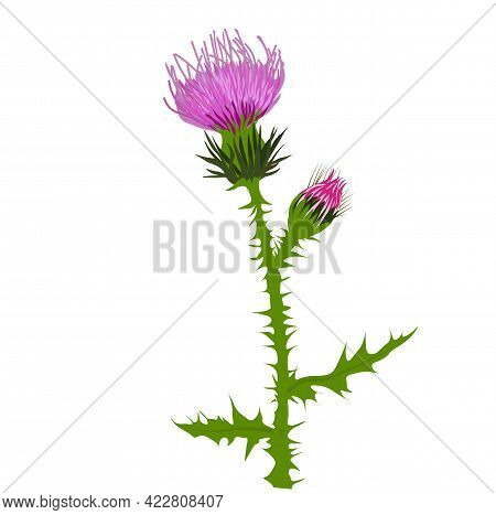 Thistle Vector Stock Illustration Close Up. Superfood Thistle Medical Herb. Hand Drawn Composition O
