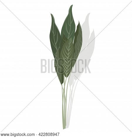 Sage Close-up Vector Stock Illustration. A Bunch Of Medicinal Herbs. The Plant With Green Velvet Lea