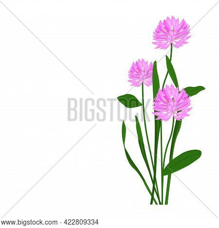 Meadow Clover Vector Stock Illustration. Meadow Flower Close-up. Spring Wild Honey Plant. The Bloomi