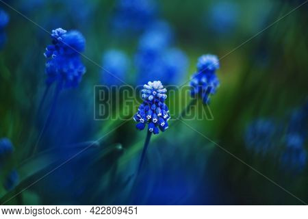 Bright Blue Beautiful Muscari Flowers Bloomed Among The Dark Grass In The Springtime. Nature. Macro.